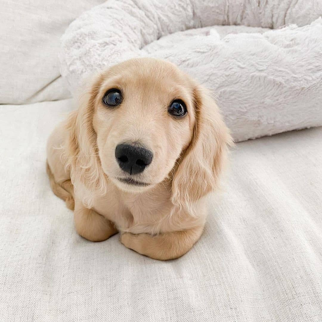 cute Dachshund lying on the bed
