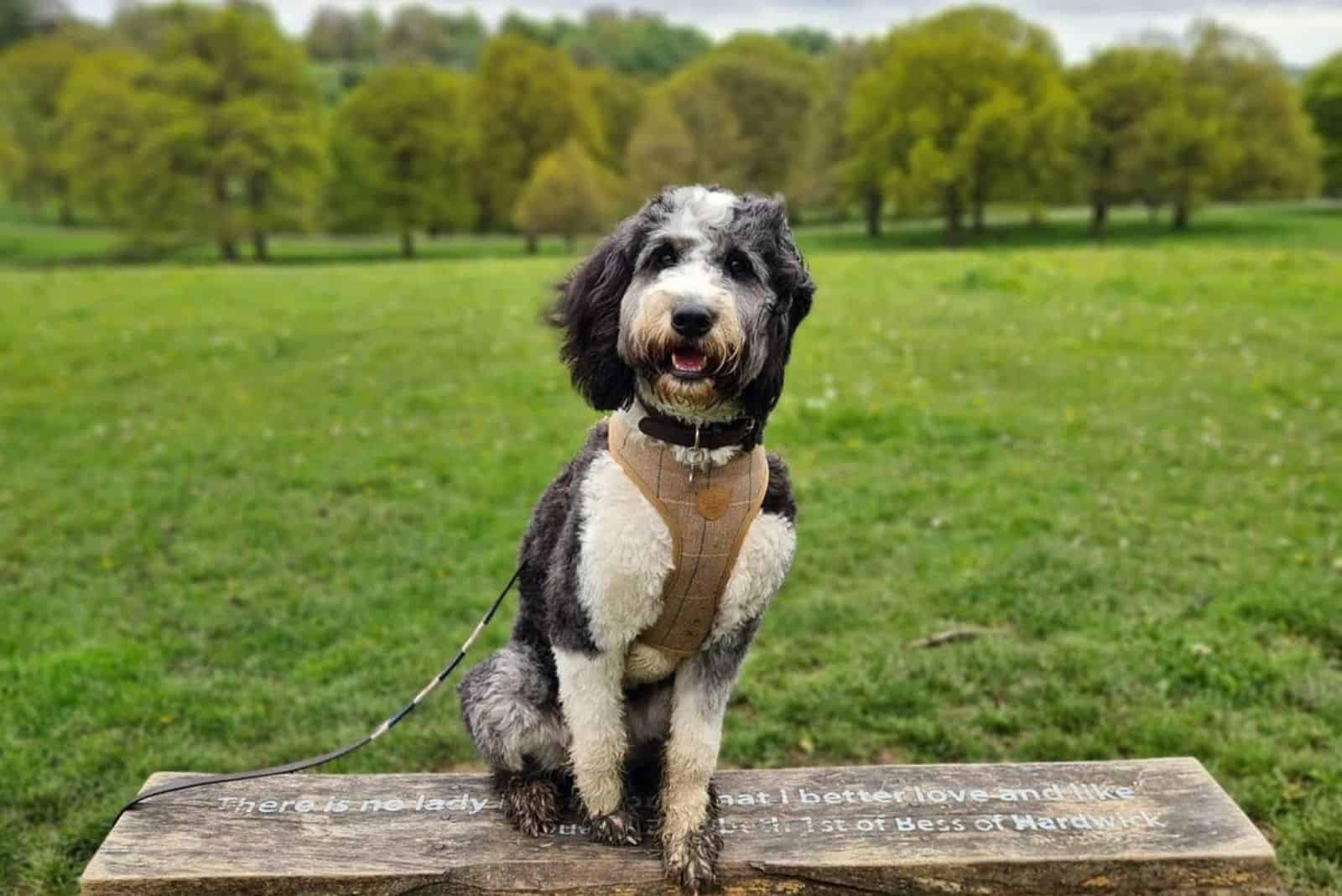 cute bernedoodle in park