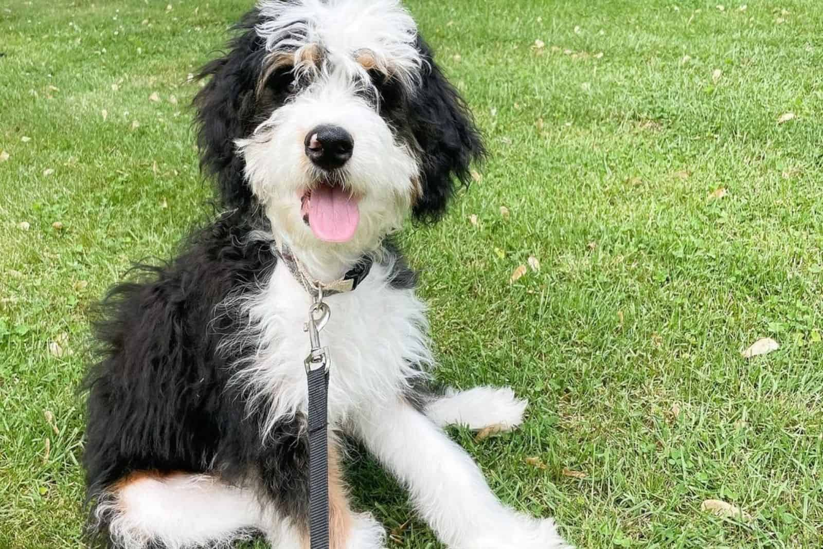 cute bernedoodle lying on the grass