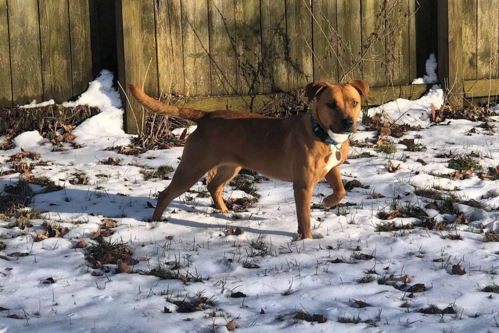 cute brown cur lab in winter nature