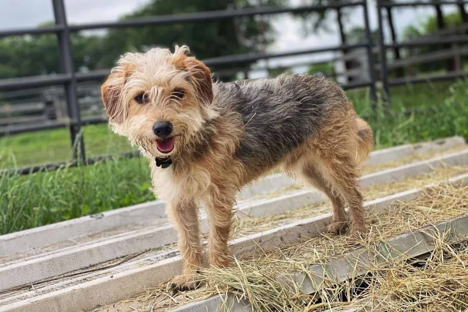 cute poogle dog