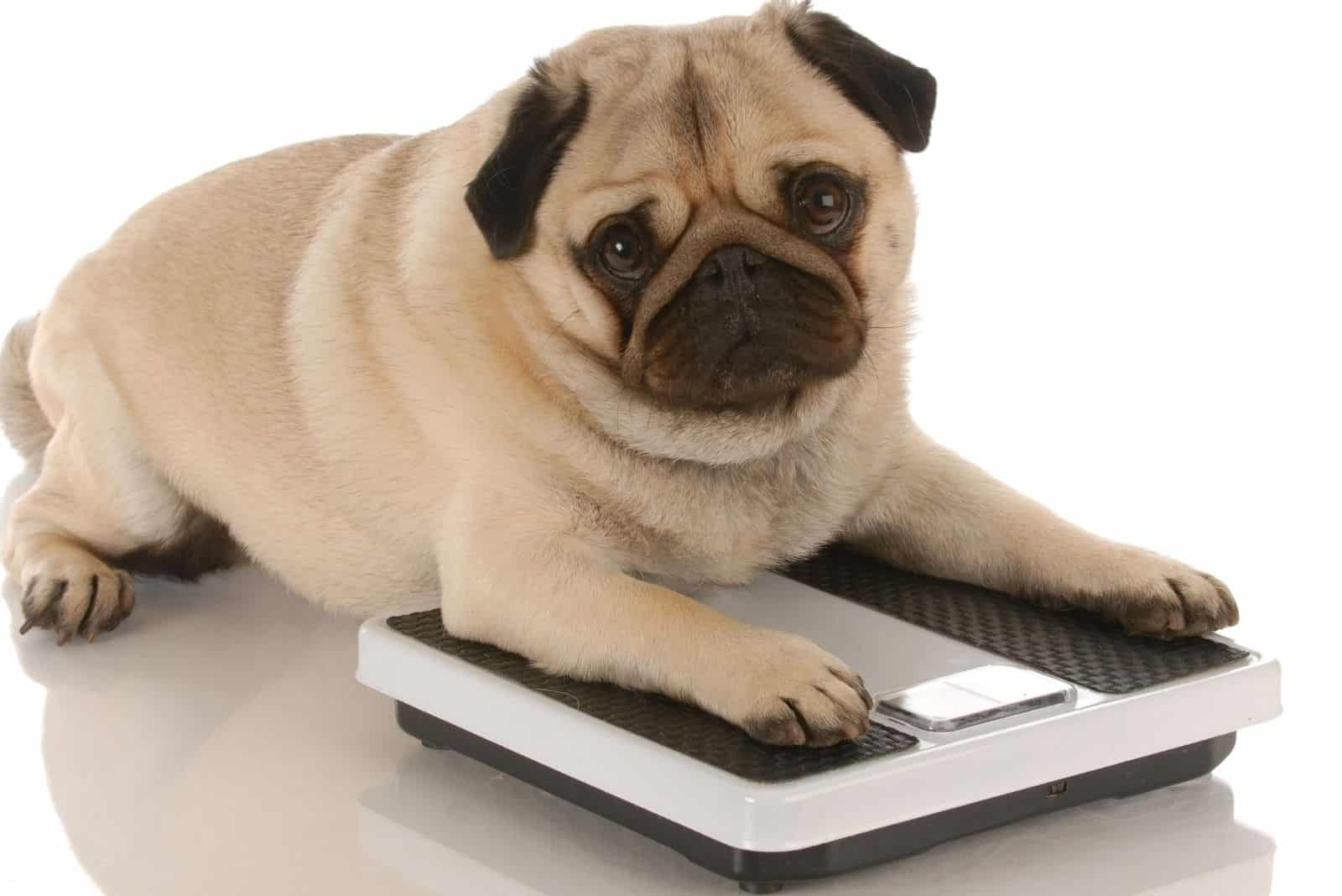 cute pug dog lying down on the weighing scale