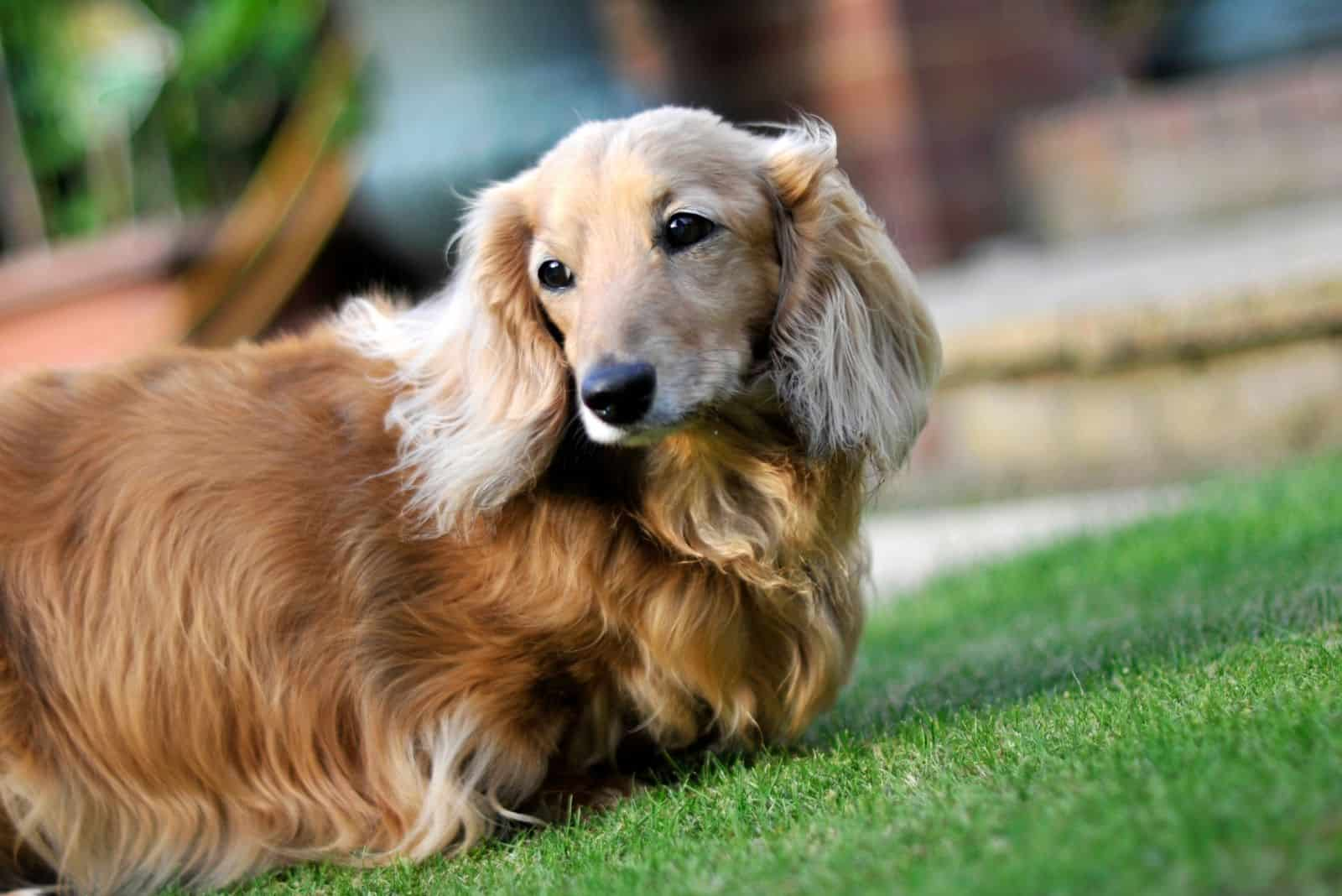 dachshund dog breed standing in the lawn