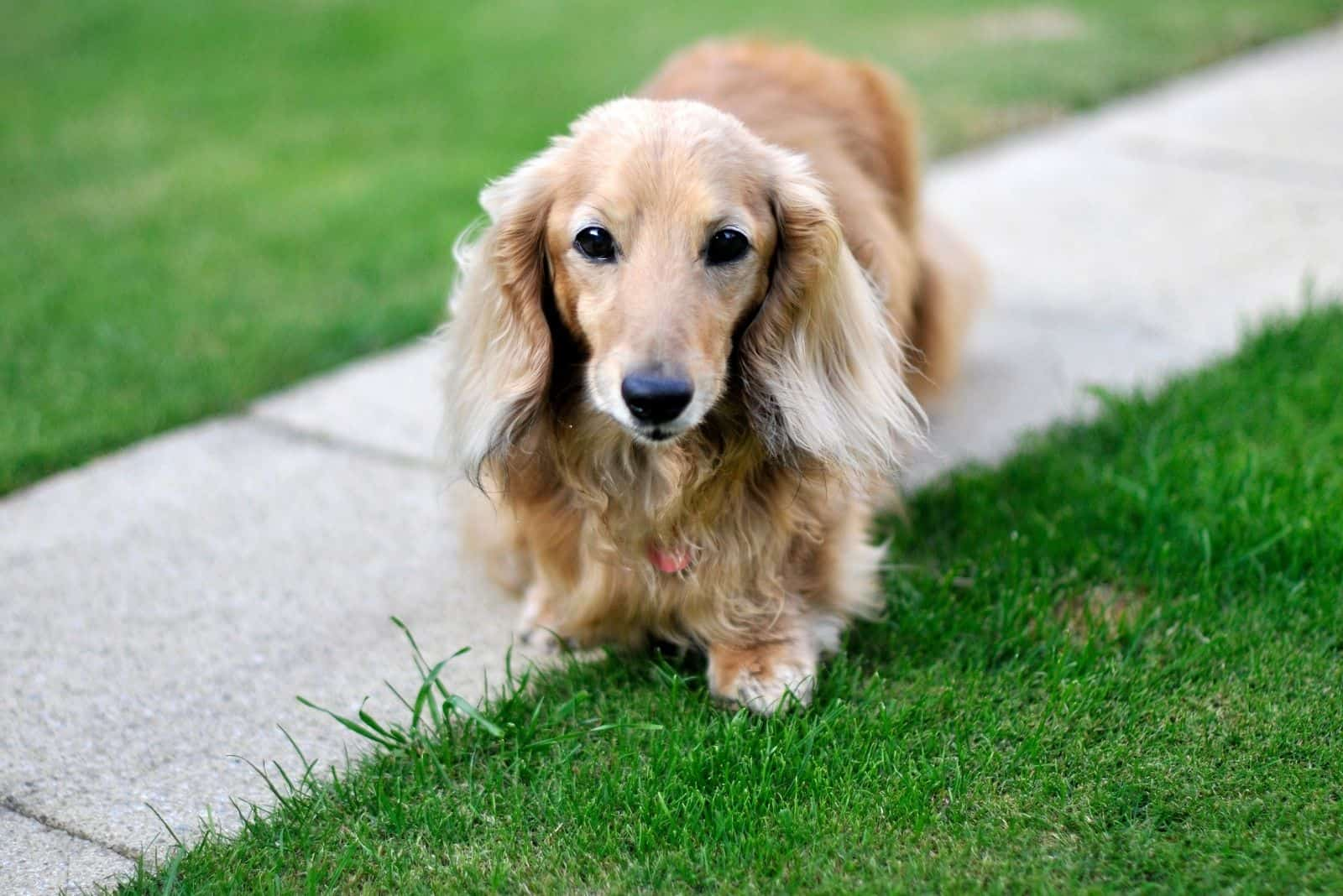 dachshund dog facing