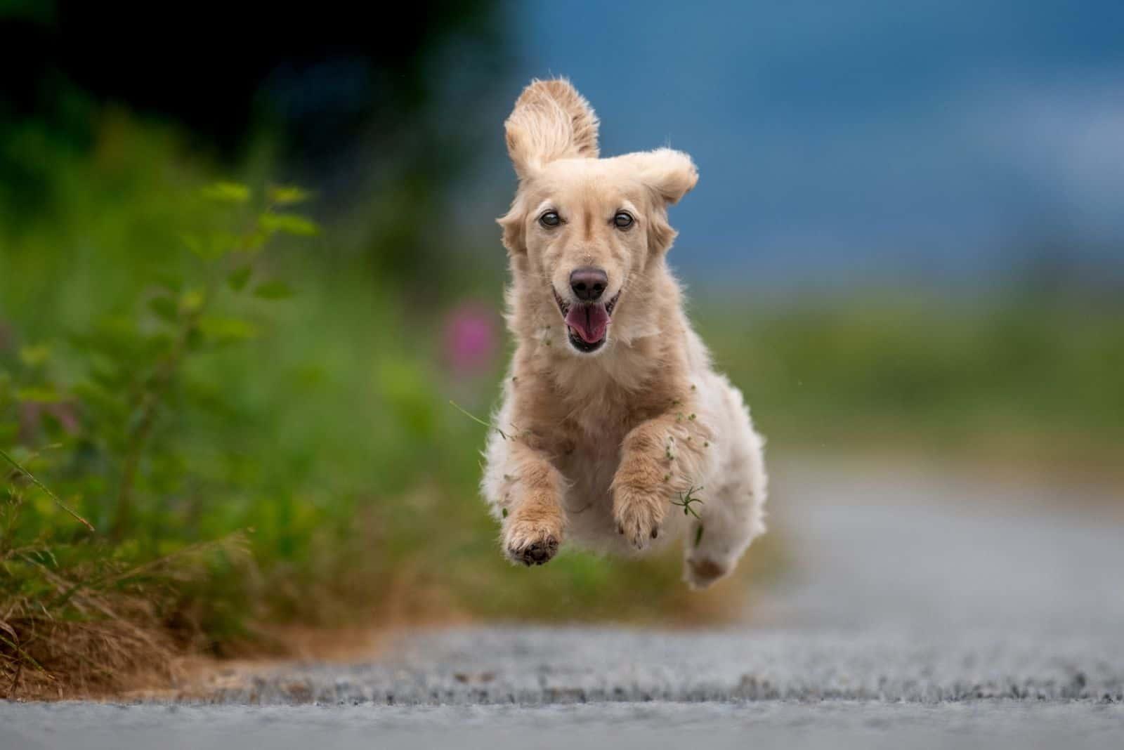 dachshund dog runs with no feet touching the ground