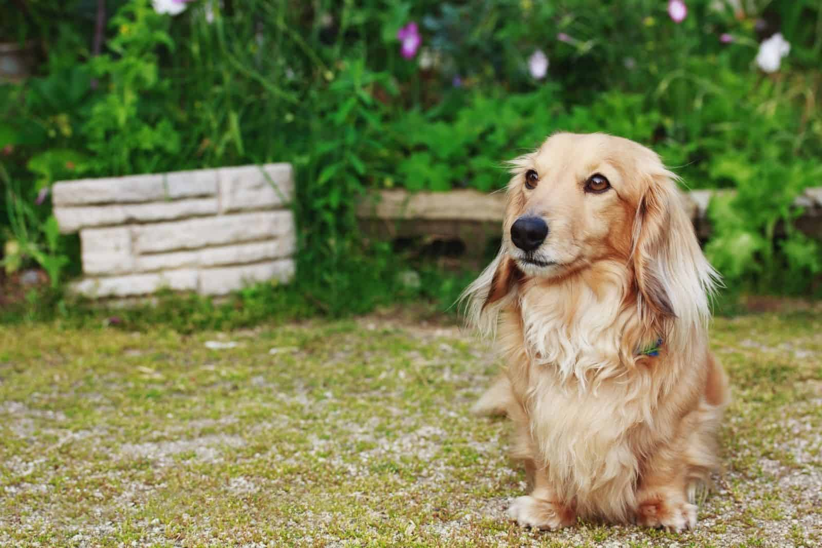 dachshund with long hair standing facing the camera