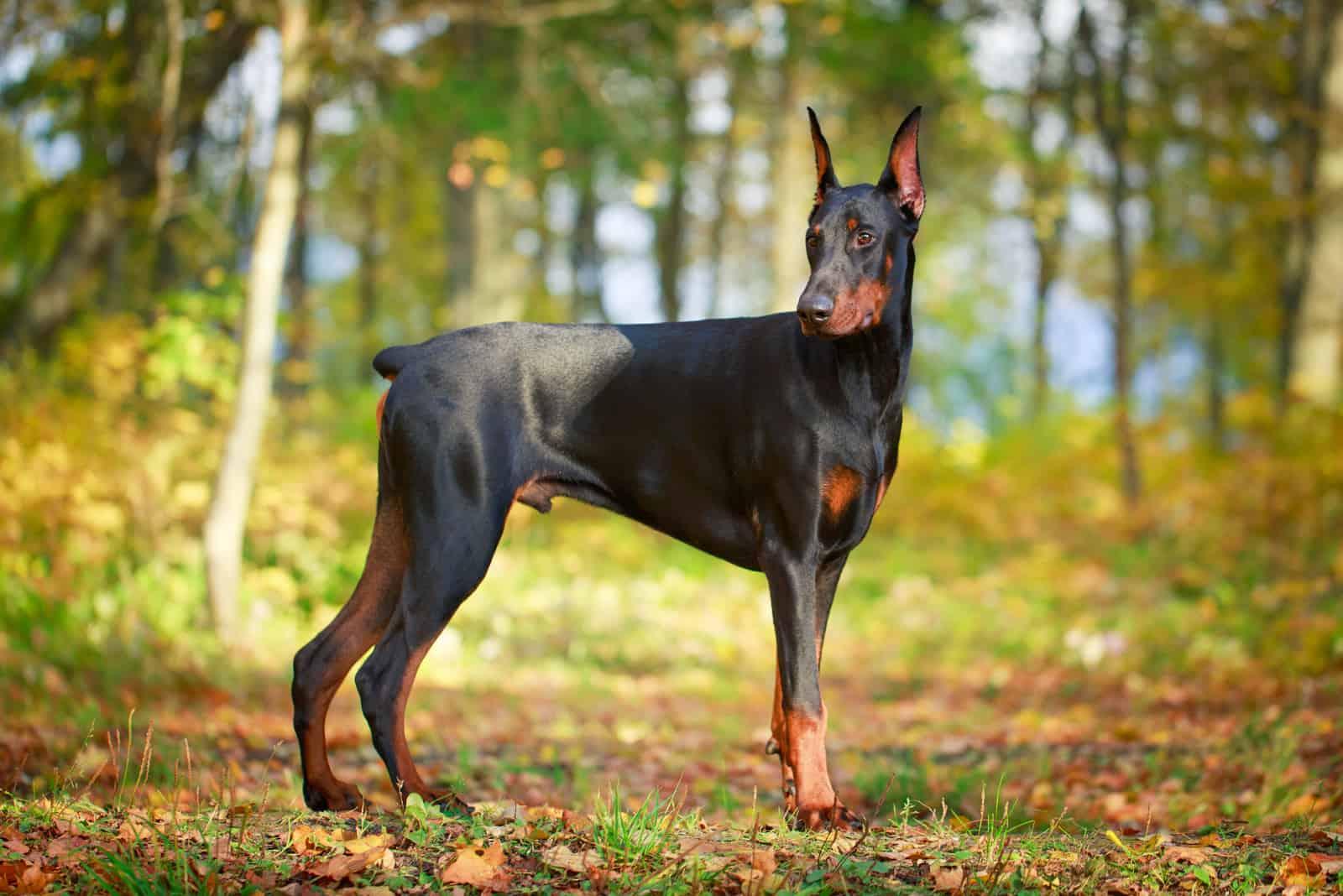 doberman dog standing outdoors