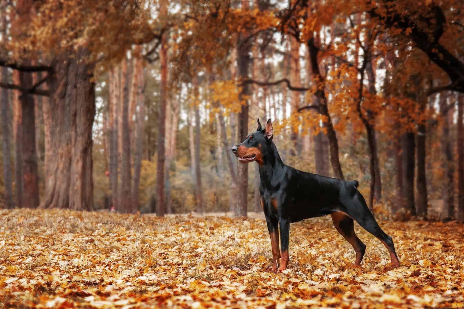 doberman standing on autumn leaves