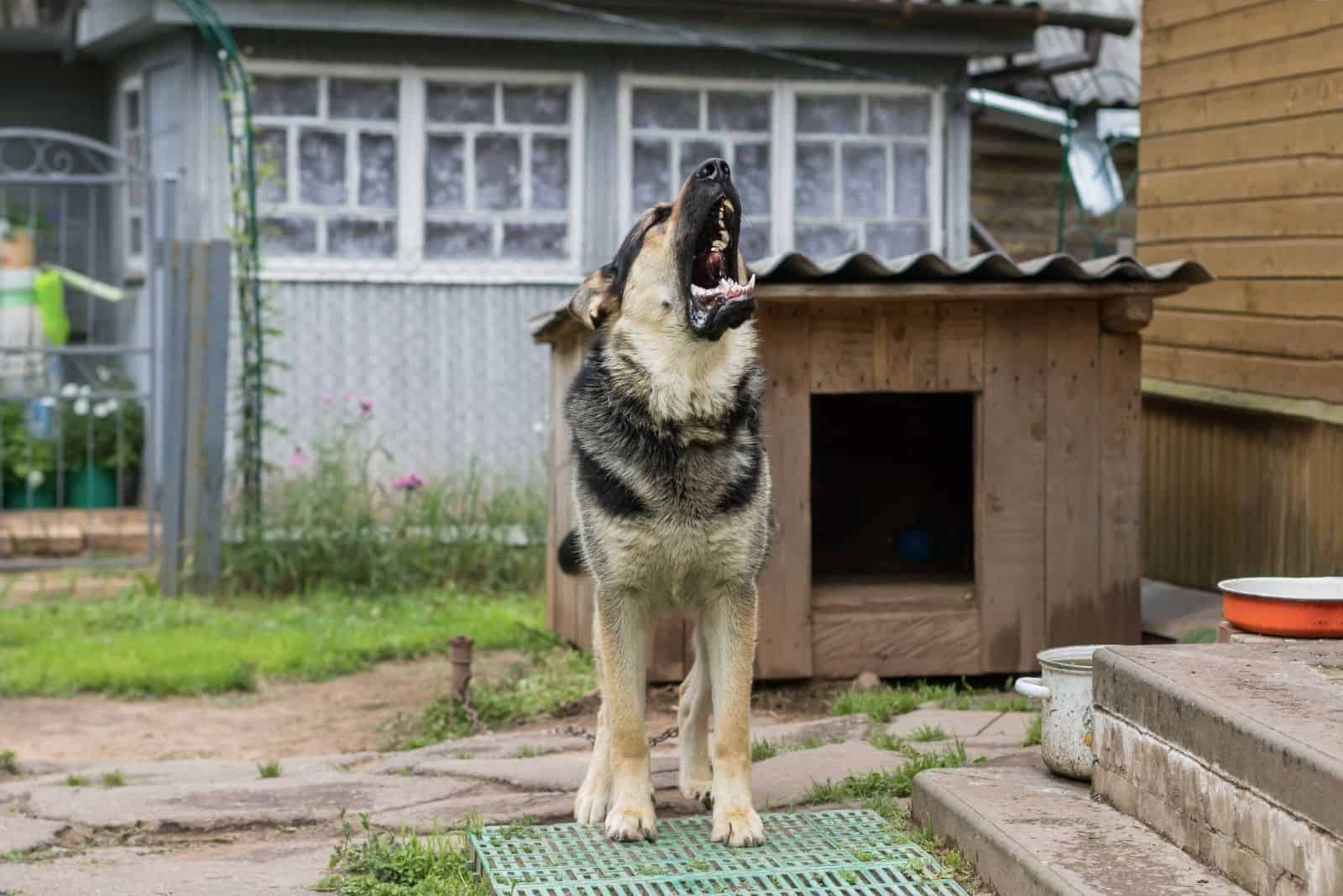 dog on chain howling guarding the house