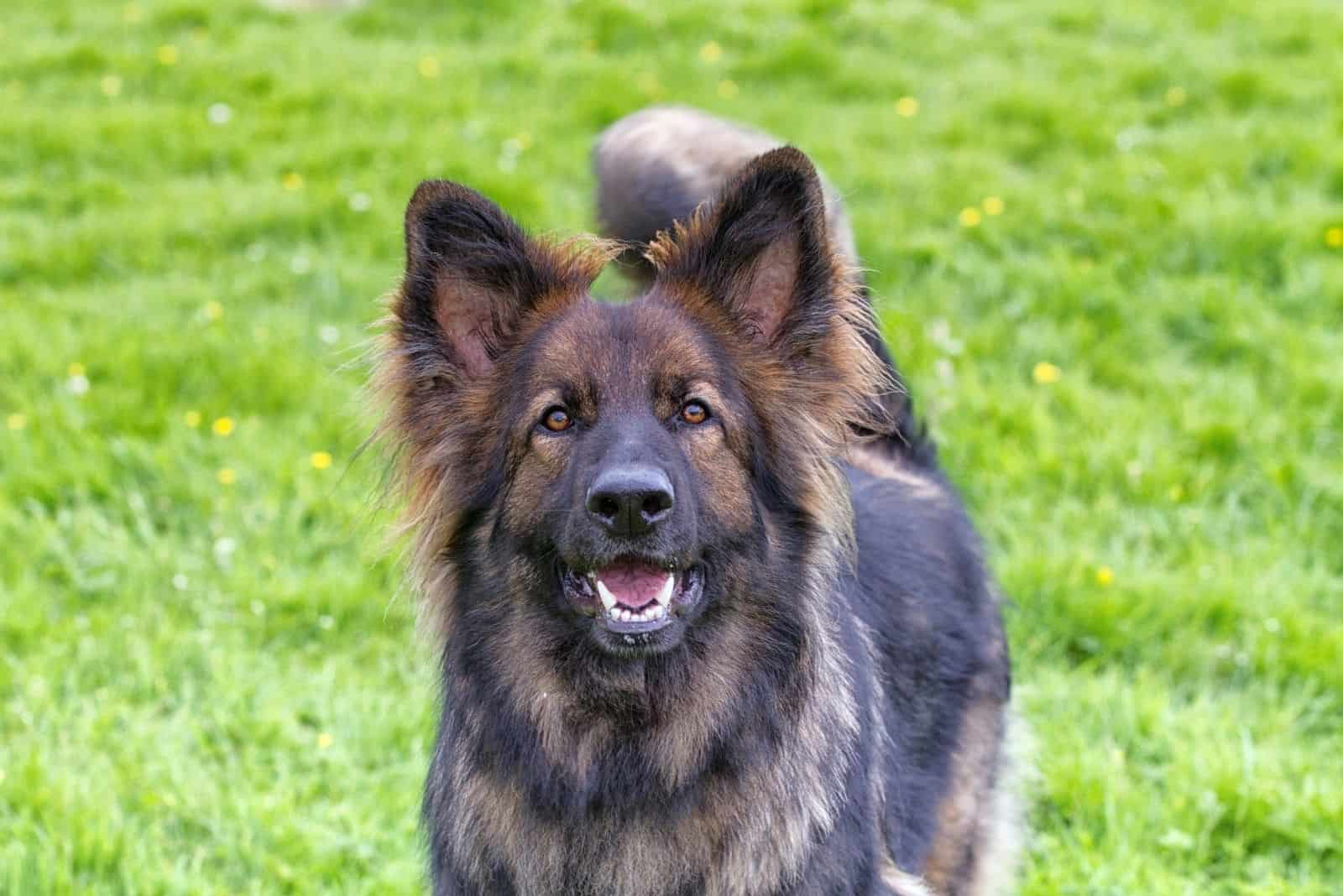 excited german shepherd barking and looking at the camera