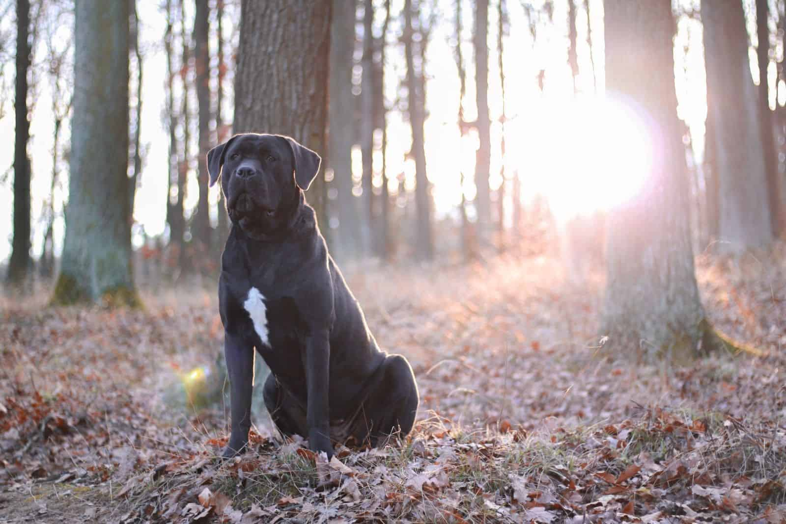 female cane corso sitting in the middle of the forest