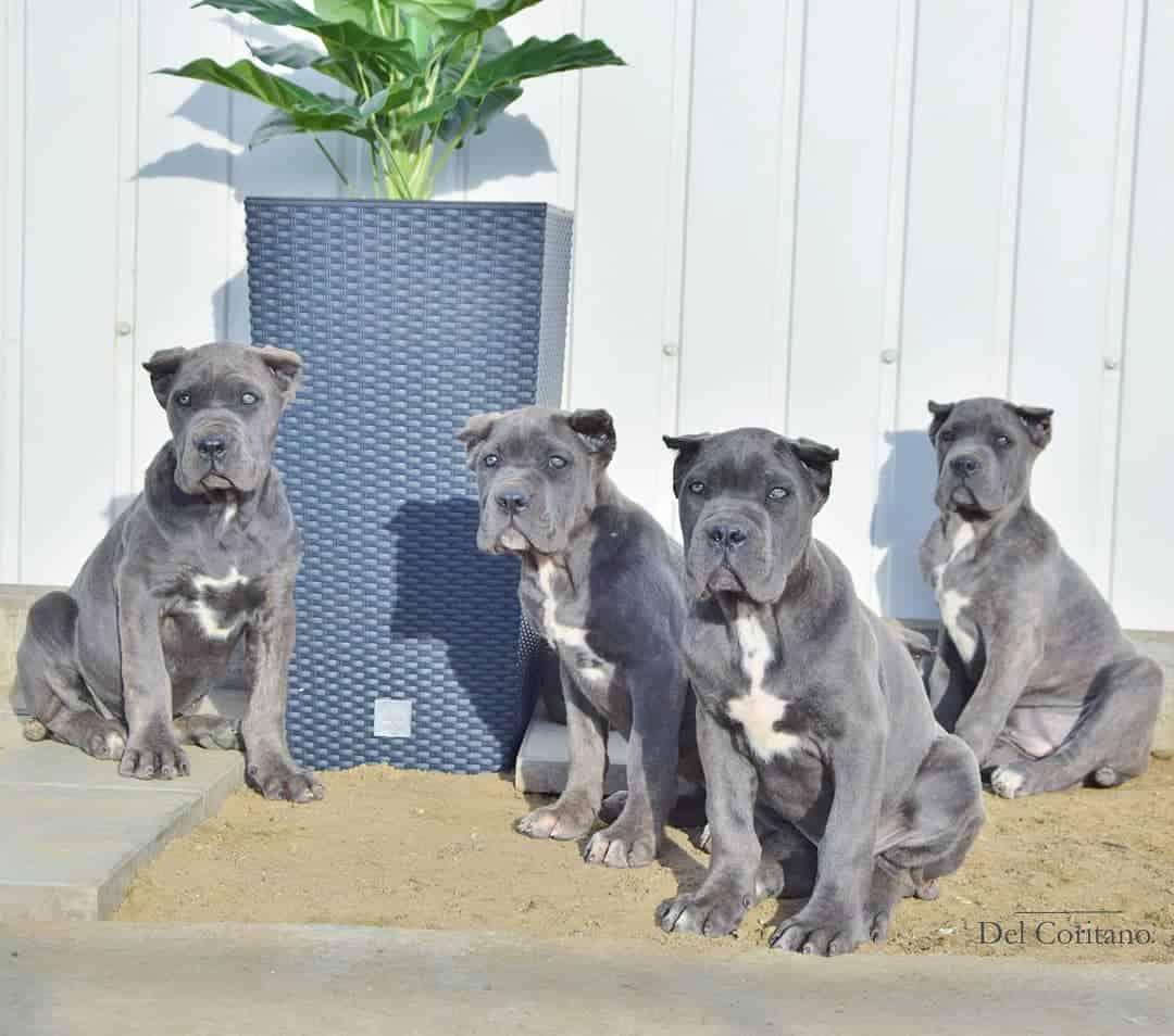 four cane corso sitting outside
