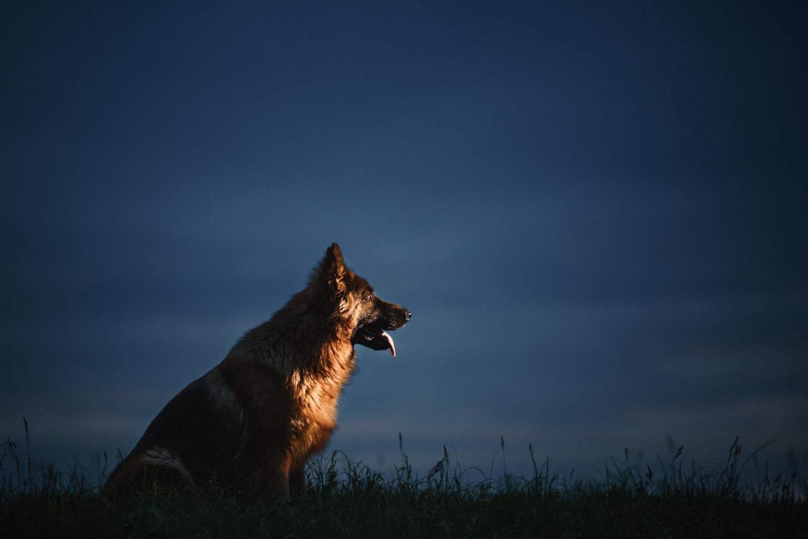 german shepherd at night sitting in sideview