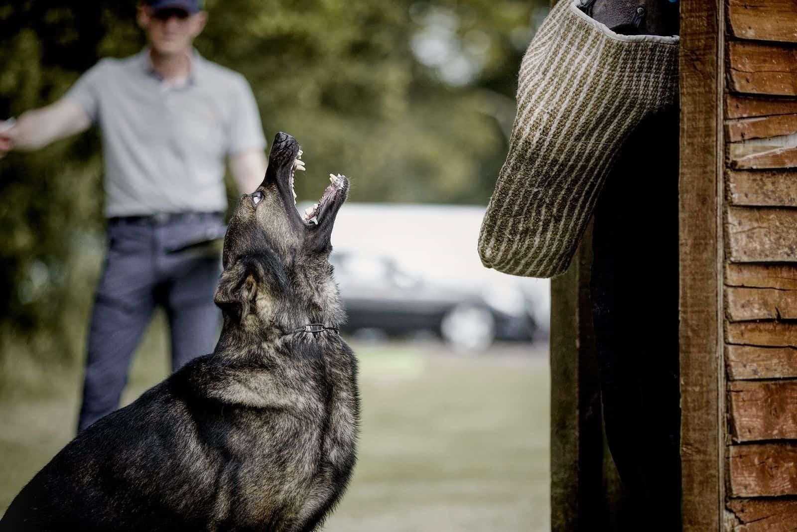 german shepherd barking or howling on blind hide