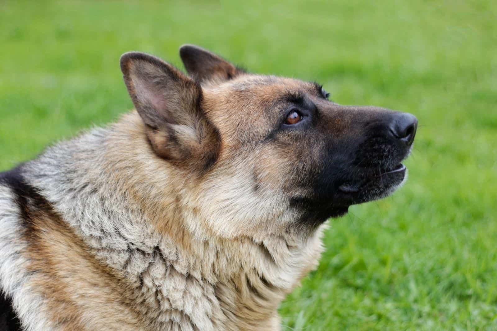 german shepherd howls in focus photography outdoors