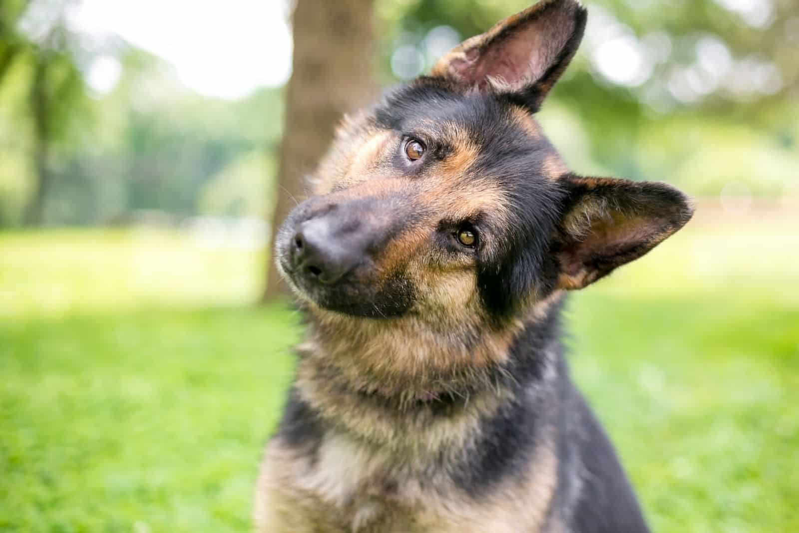 german shepherd listening to the sound raising his ear up sitting outdoors