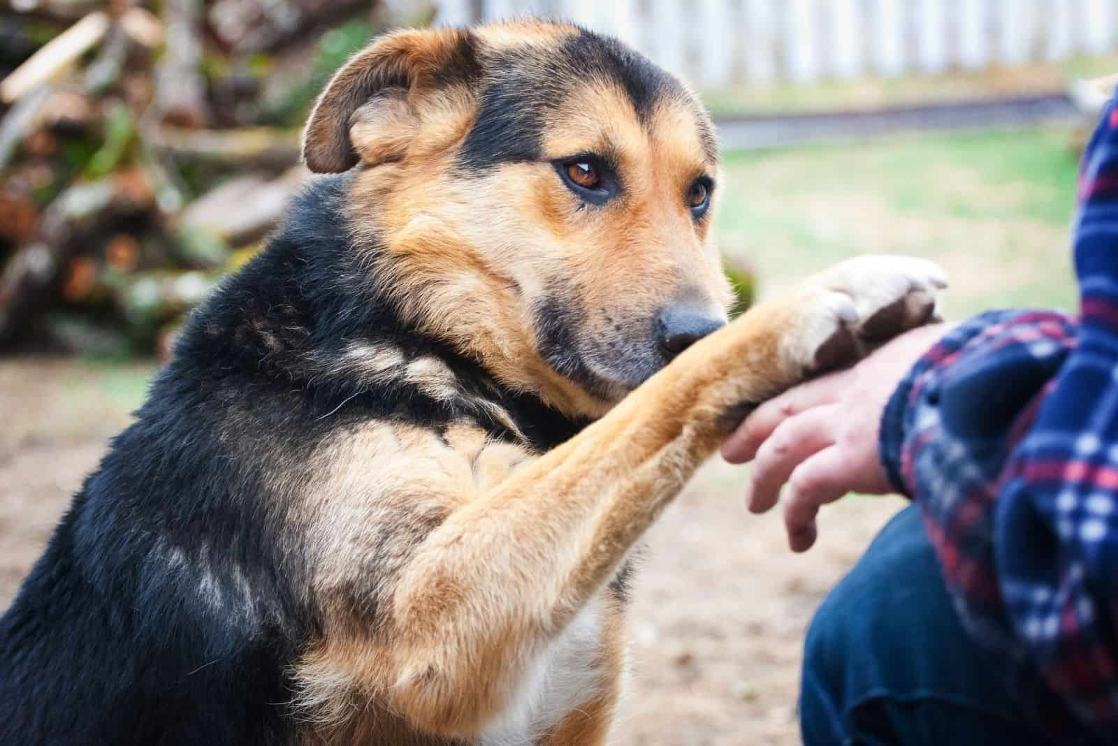 german shepherd mixed dog giving a paw to the owner