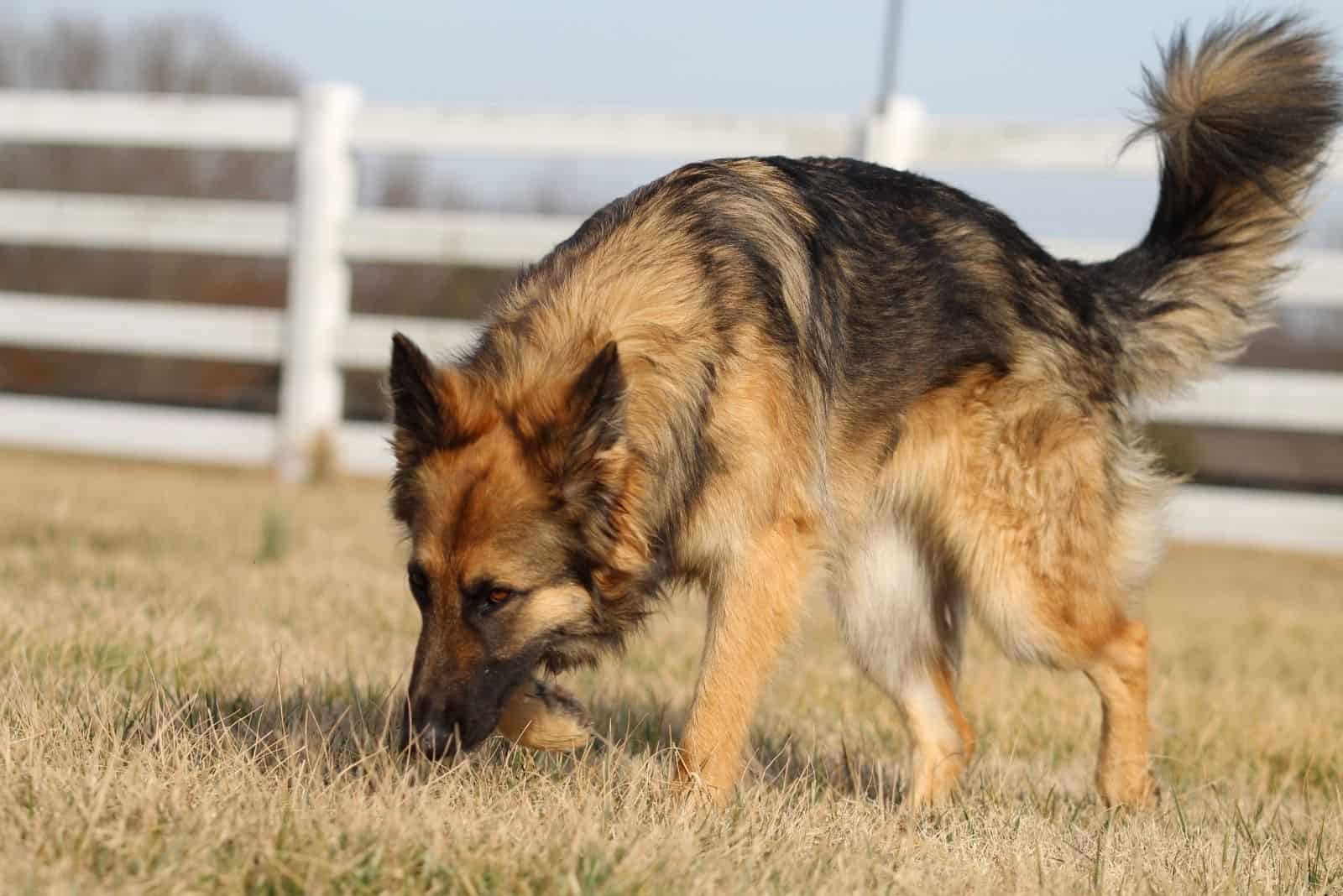 german shepherd sniffing on the ground with dry grasses