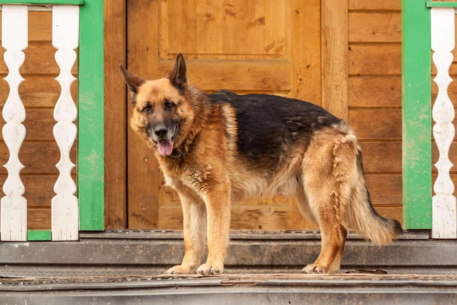 german shepherd standing at the porch of the house