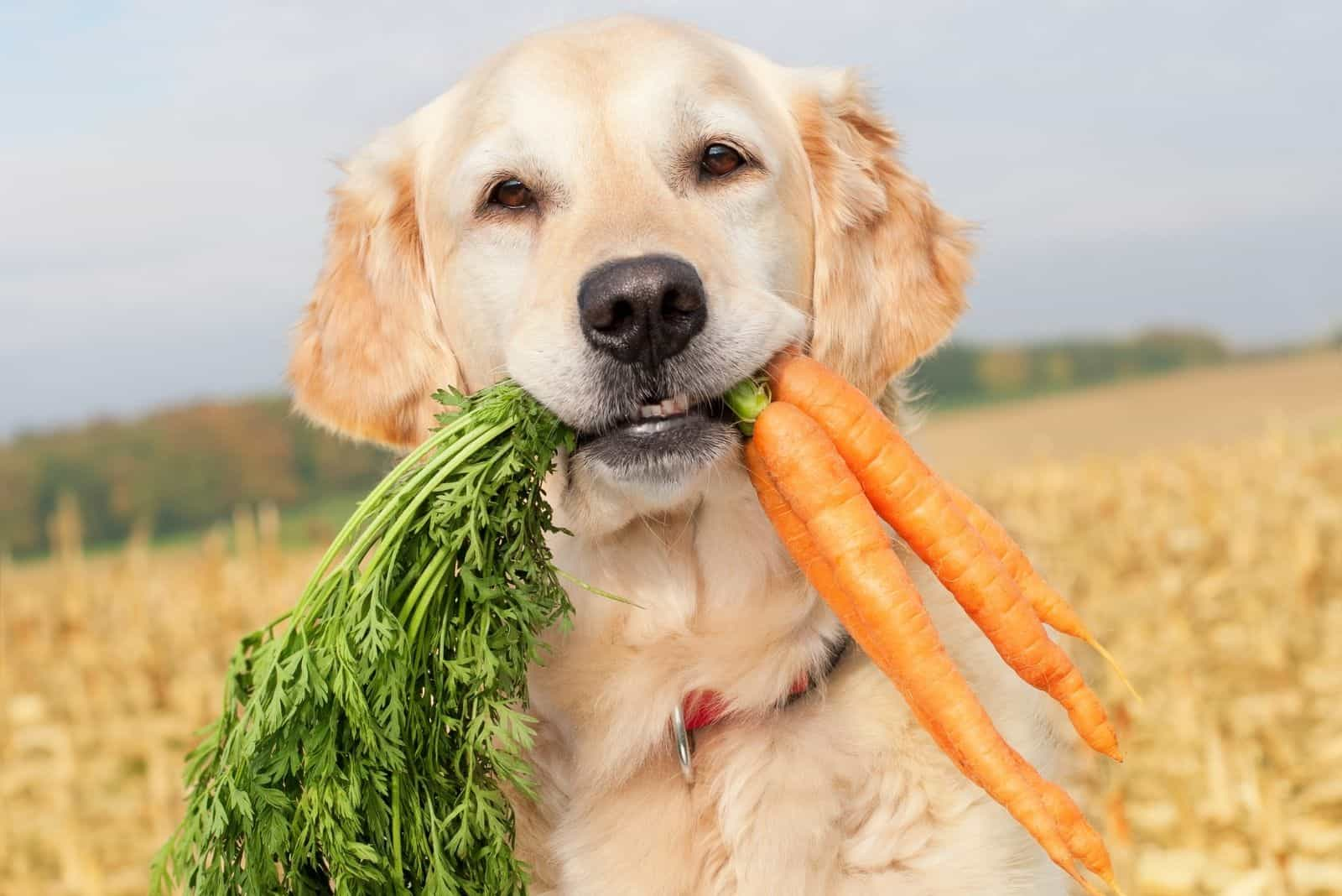 golden retriever dog holding carrots with its mouth