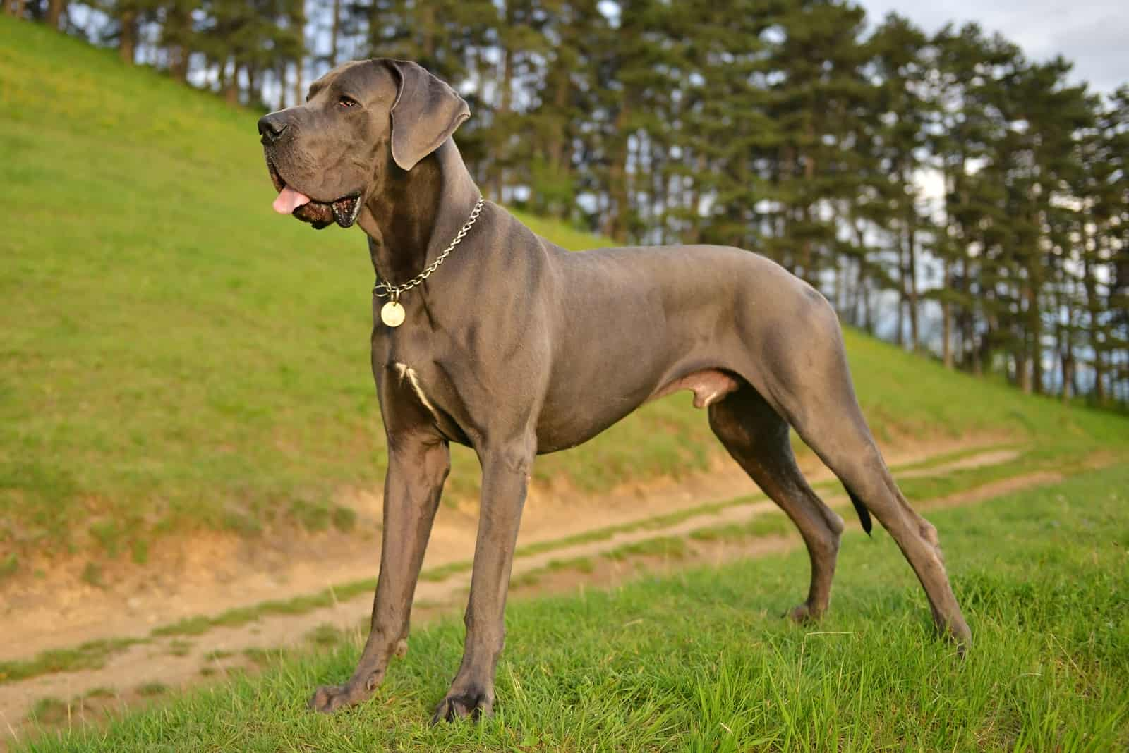 great dane dog standing on the grass