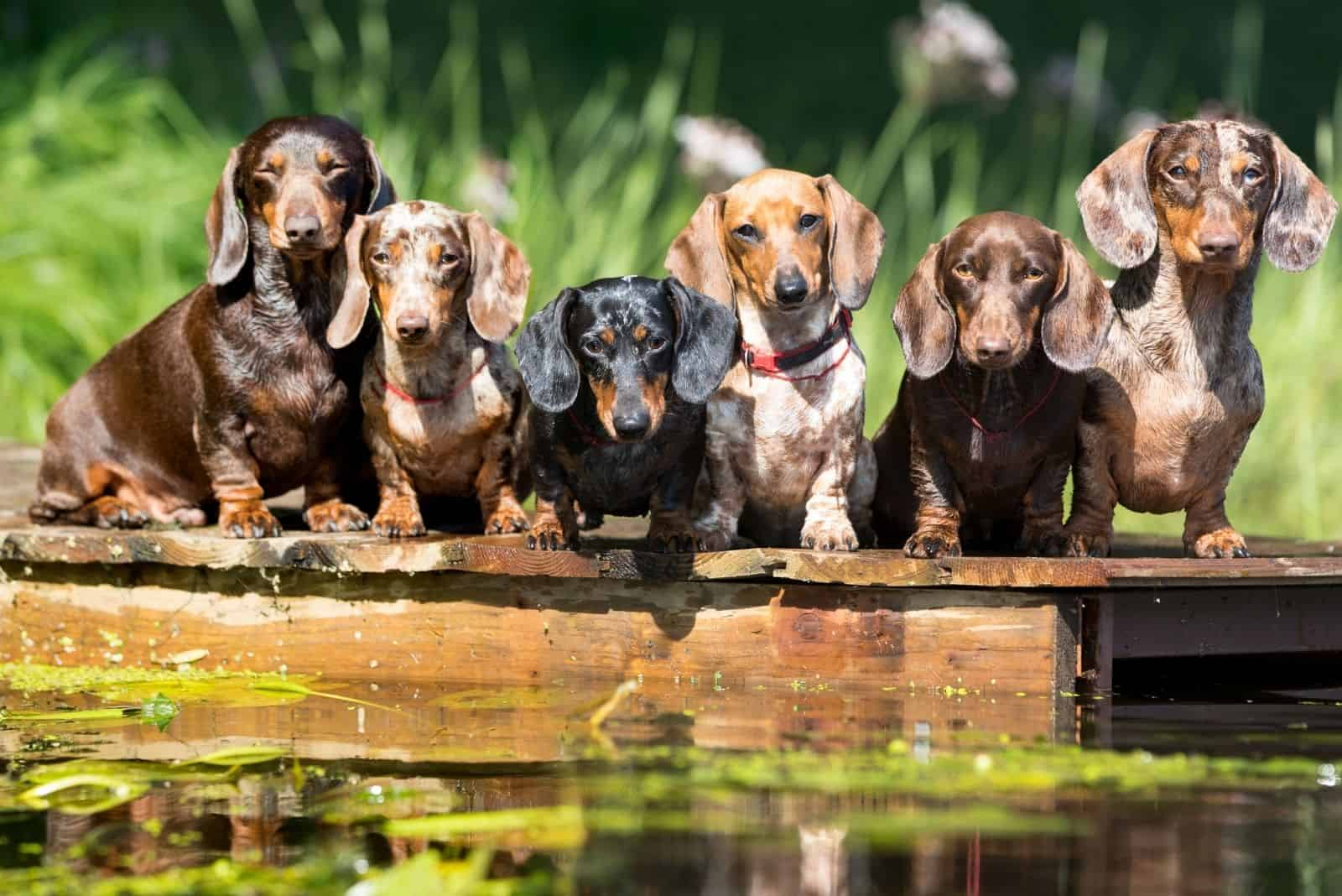 group dog dachshund sits by wooden platform near the water