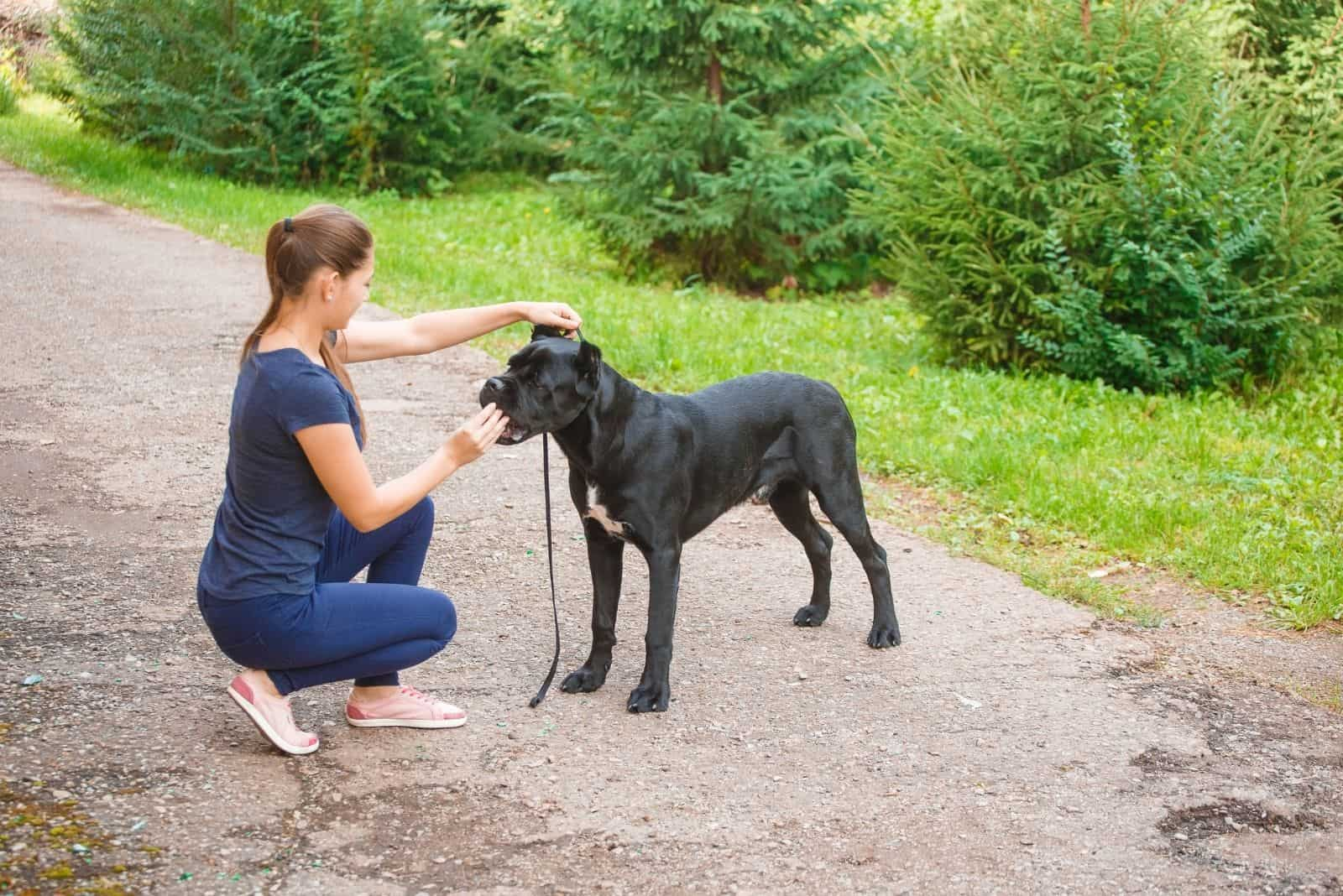 handler with a dog cane corso italian in the park
