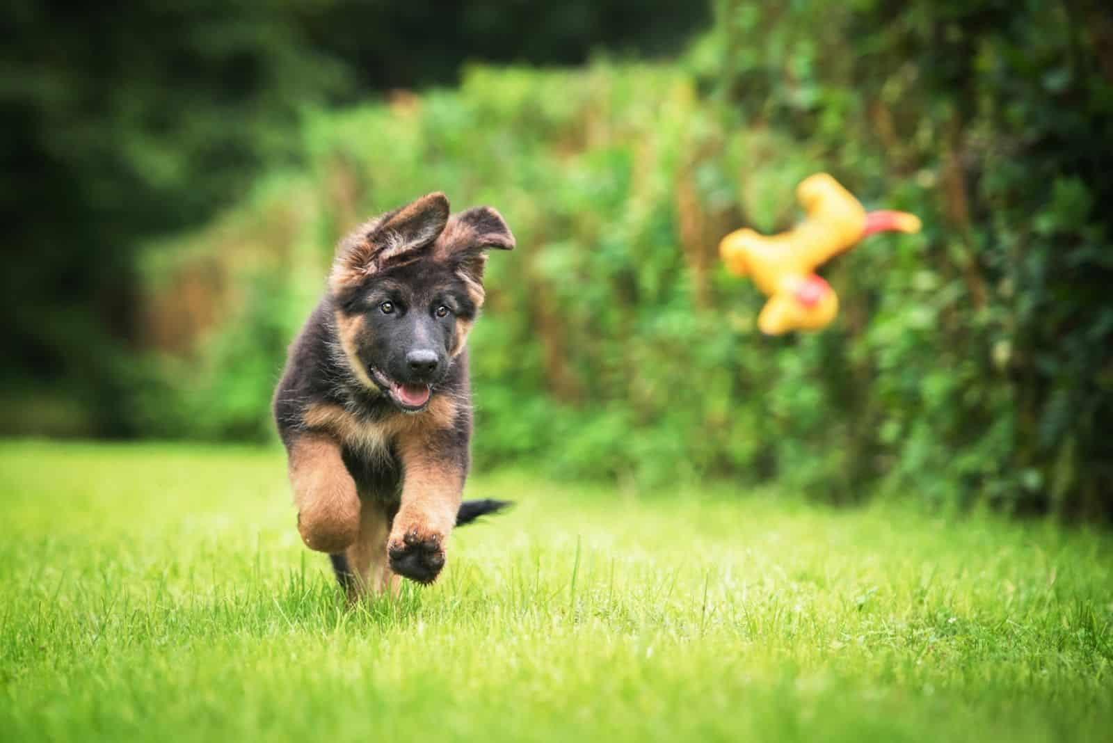 happy German Shepherd puppy playing with a toy outdoors