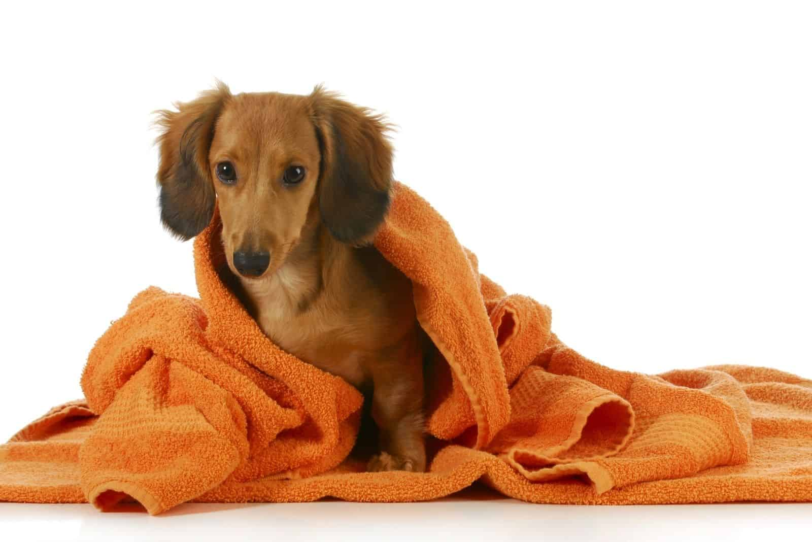 long haired dachshund with an orange towel over after bath