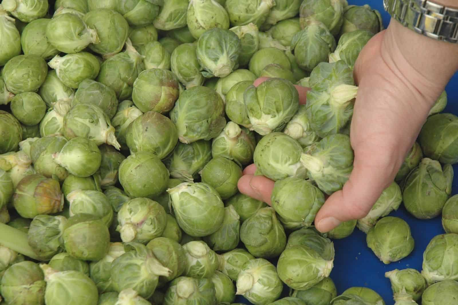 lots of brussel sprouts and hand holding some