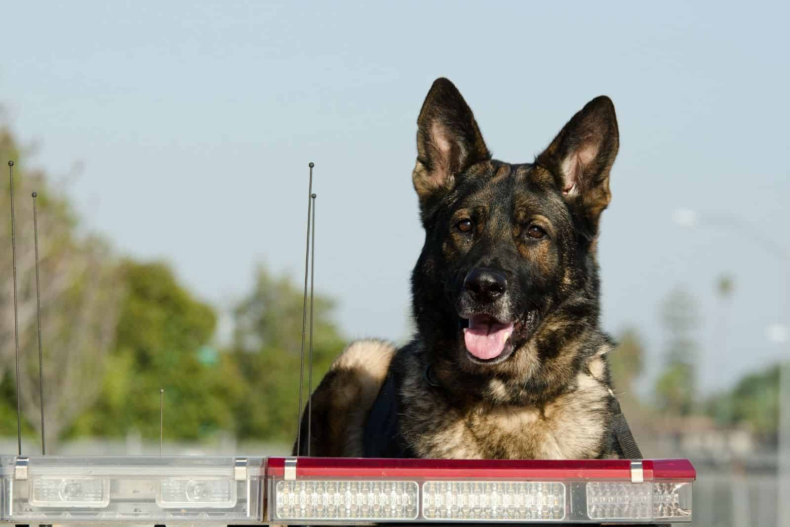 police dog sitting on top of a patrol car during his shift
