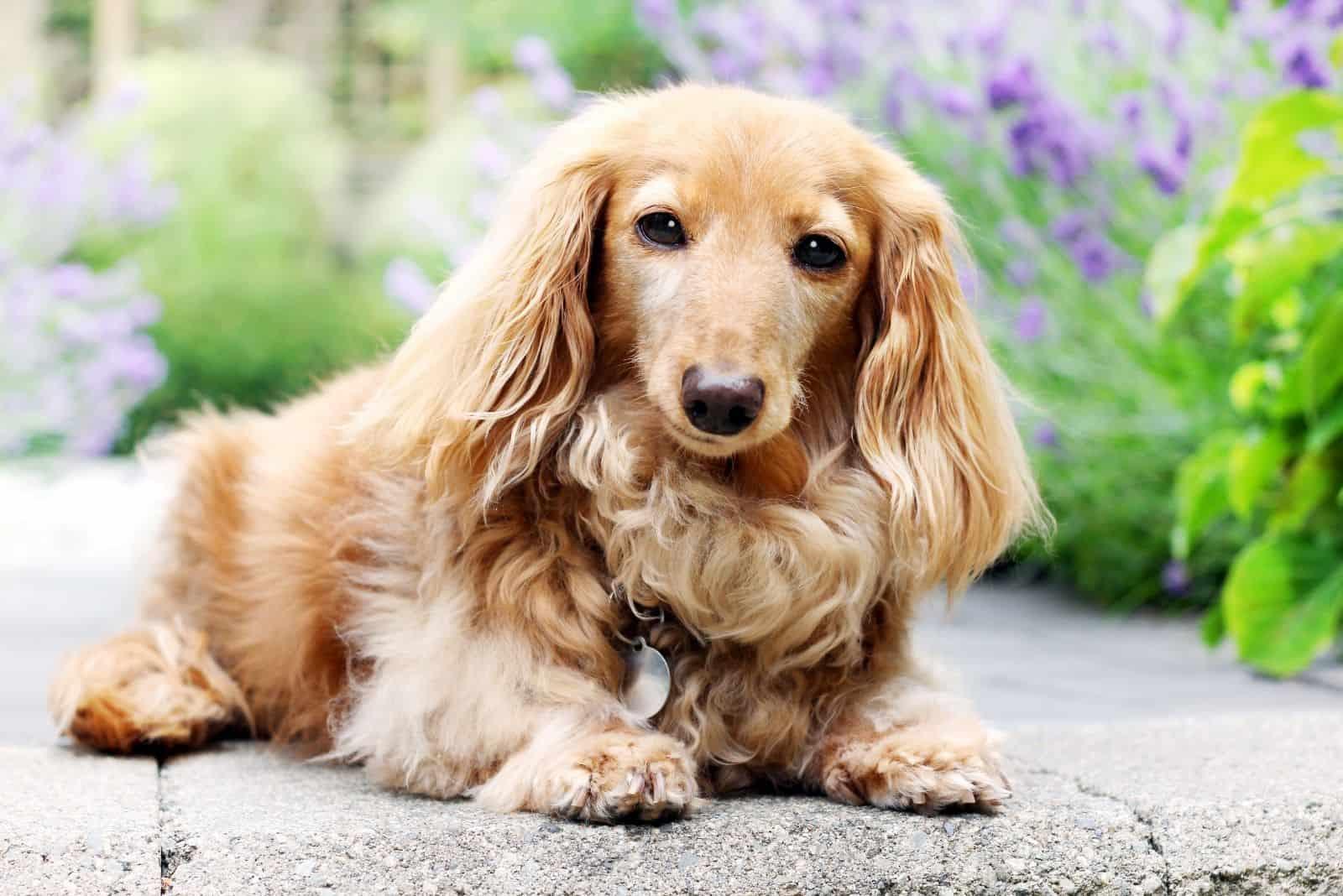 purebred longhair dog