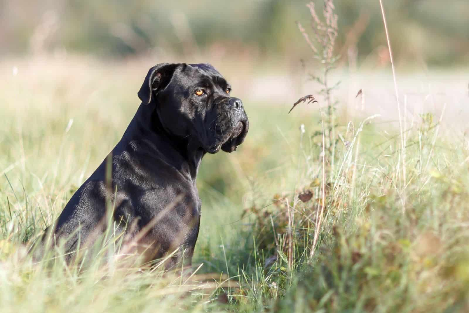 stern italian cane corso sitting in the green lawn and looking at a distance