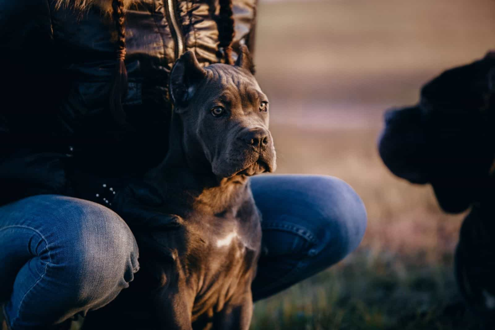 sweet italian cane corso looking at other dog standing near a man