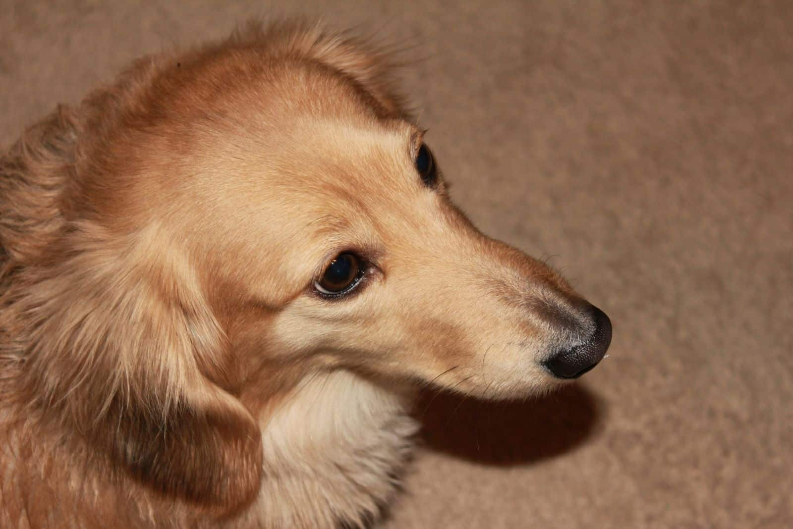 top angle of a cropped imageof an English cream long haired dachshund