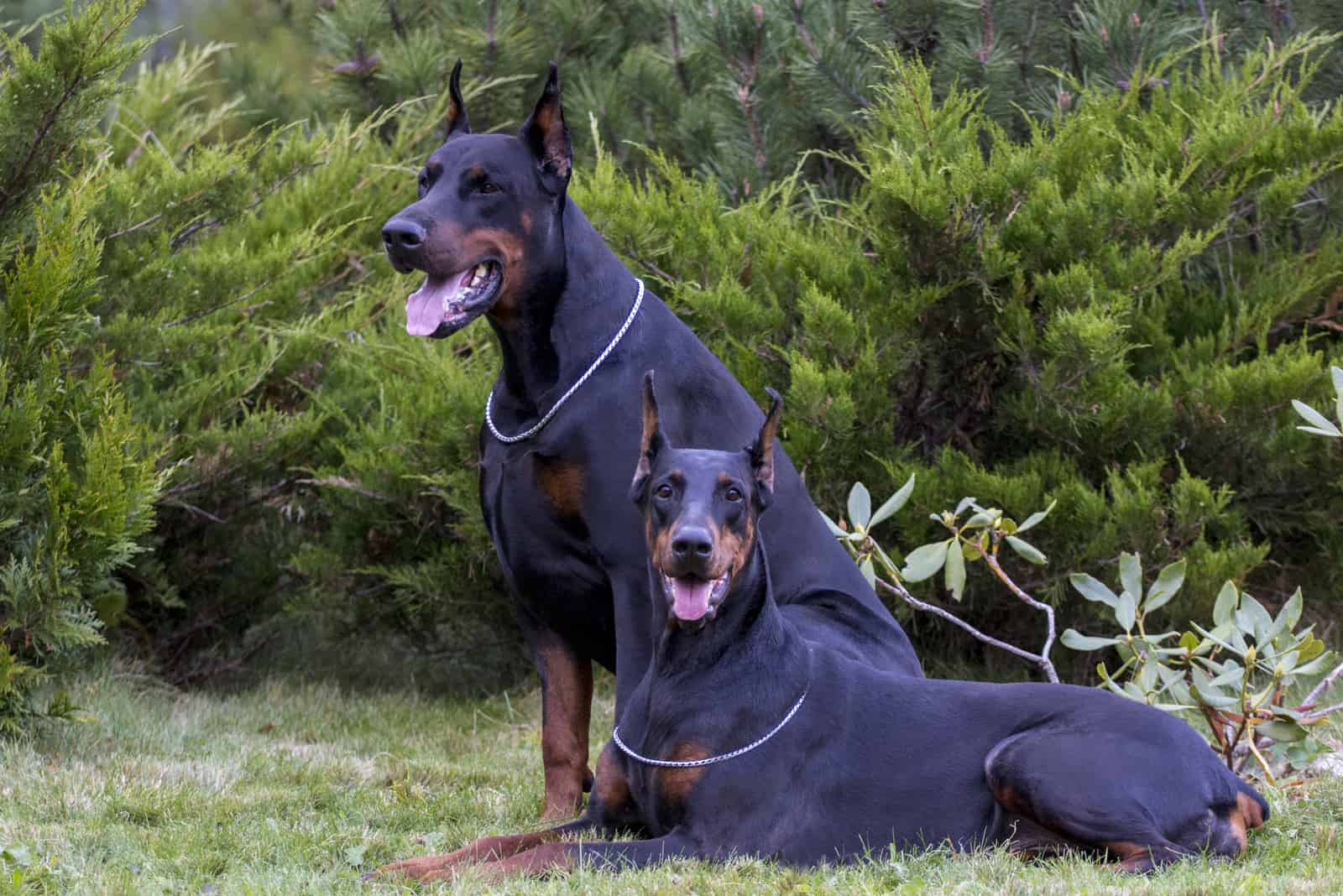 two Doberman dogs on the grass outdoors