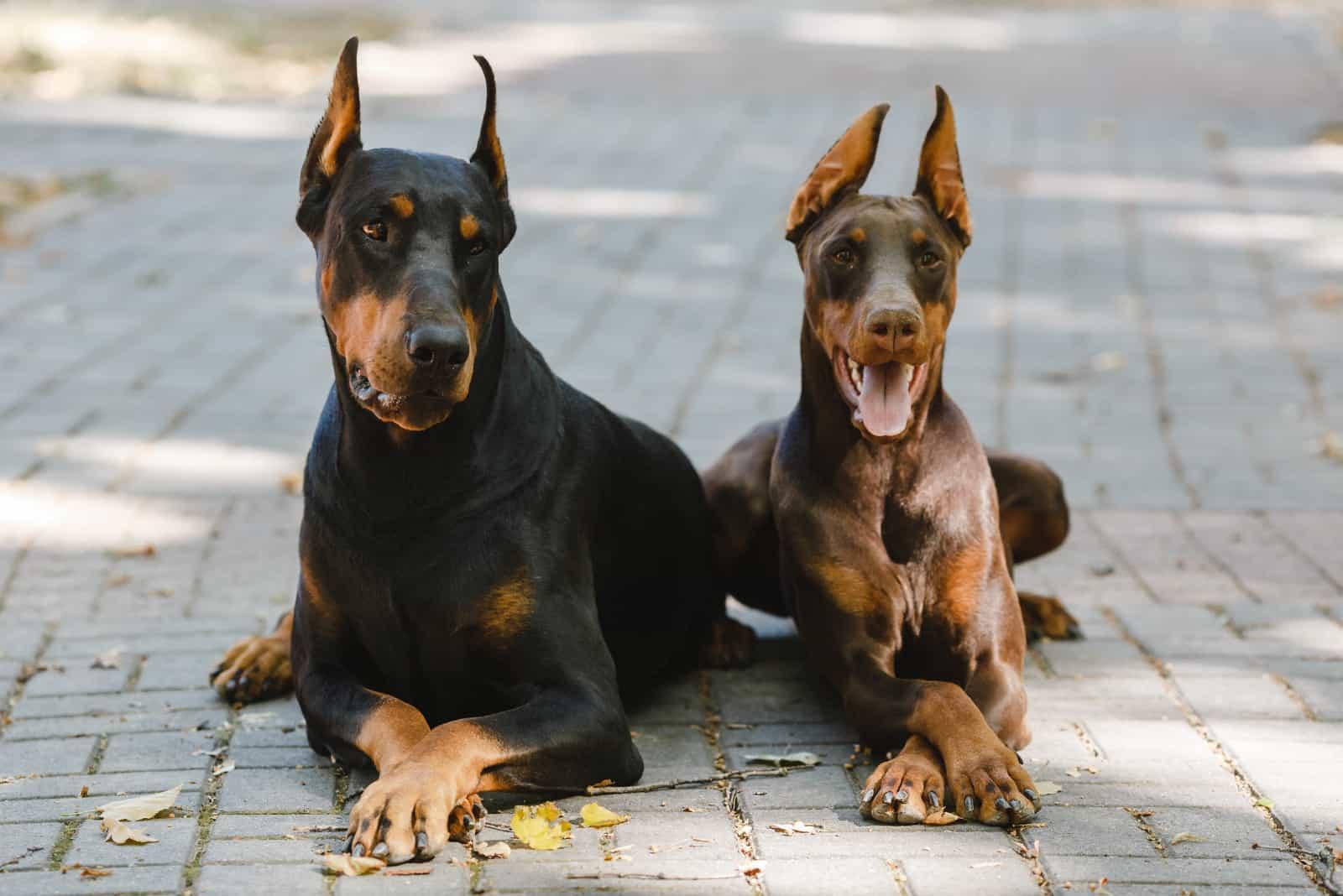 two German Doberman dogs lying