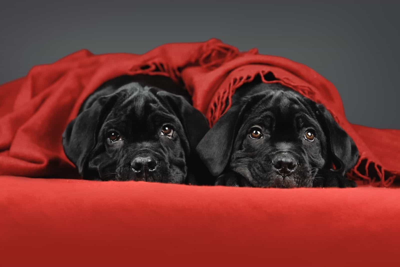 two cute corso puppies under a red blanket with gray background