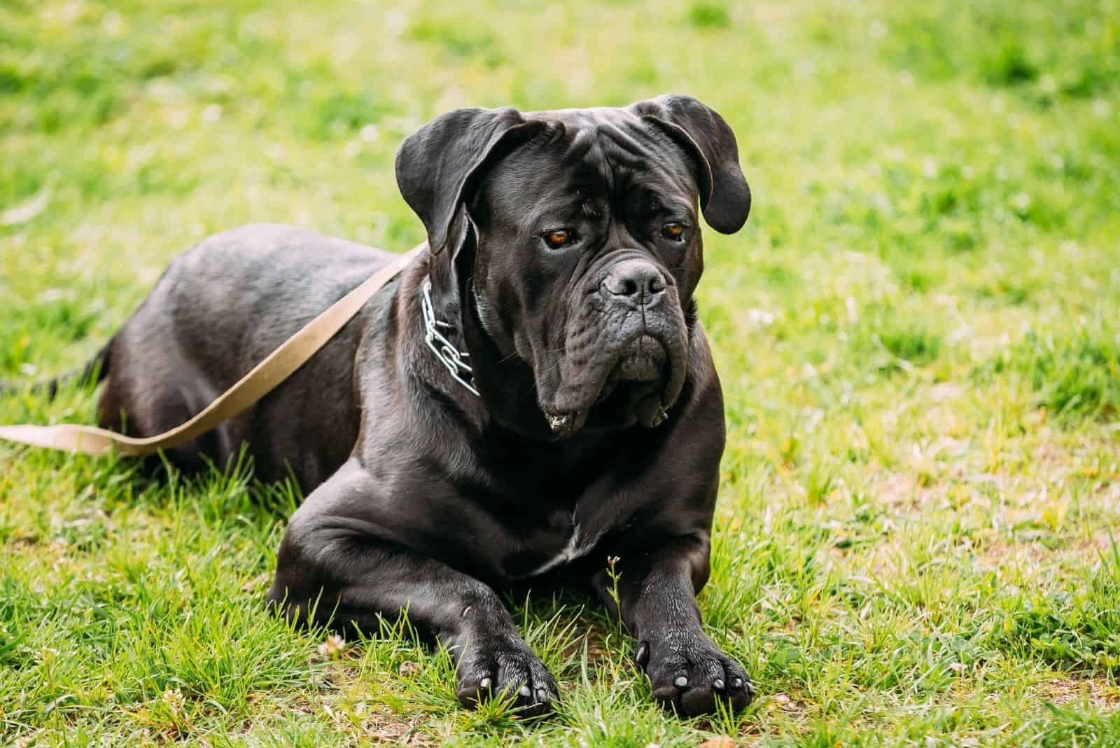 young black cane corso sitting on the green lawn with leash on the neck