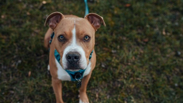 All About The Average Pitbull Price: How Much Do These Dogs Truly Cost?