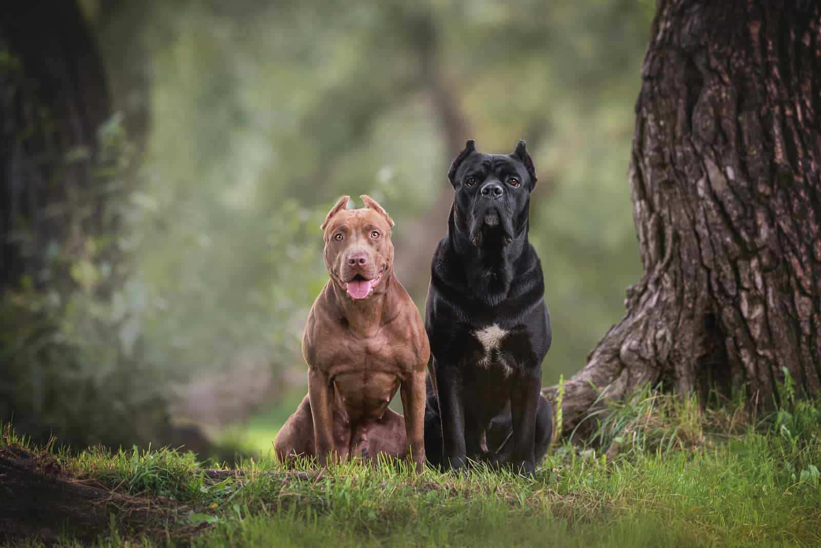 American Pit Bull Terrier and Cane Corso sitting on green grass