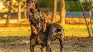 young and old cane corso fight and play in the autumn park