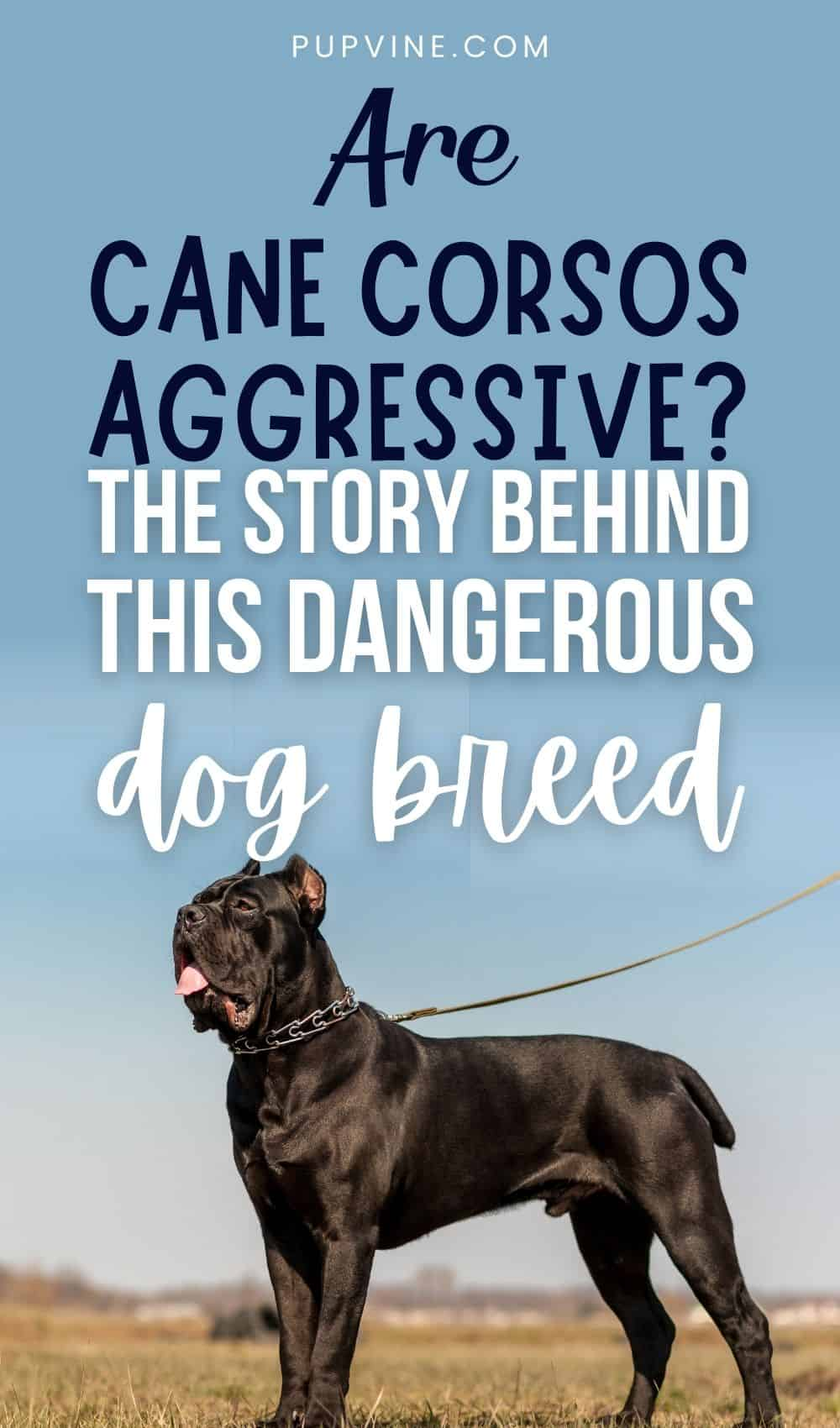 Are Cane Corsos Aggressive? The Story Behind This Dangerous Dog Breed