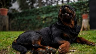 rottweiler dog laying in the garden showing his teeth