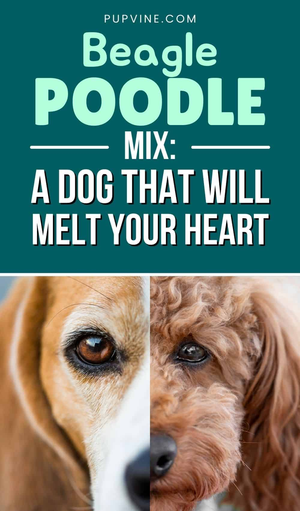 Beagle Poodle Mix A Dog That Will Melt Your Heart