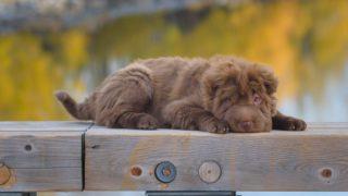 sharpei with a teddy bear coat puppy lying down in the bridge wood railings
