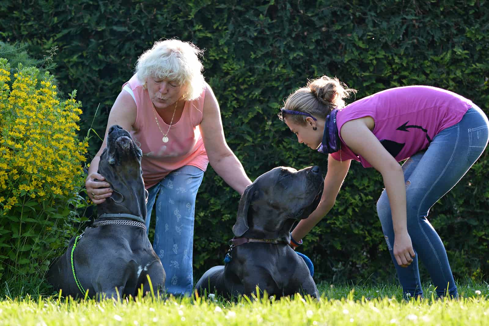 Beautiful Great Dane dogs outdoors in a meadow