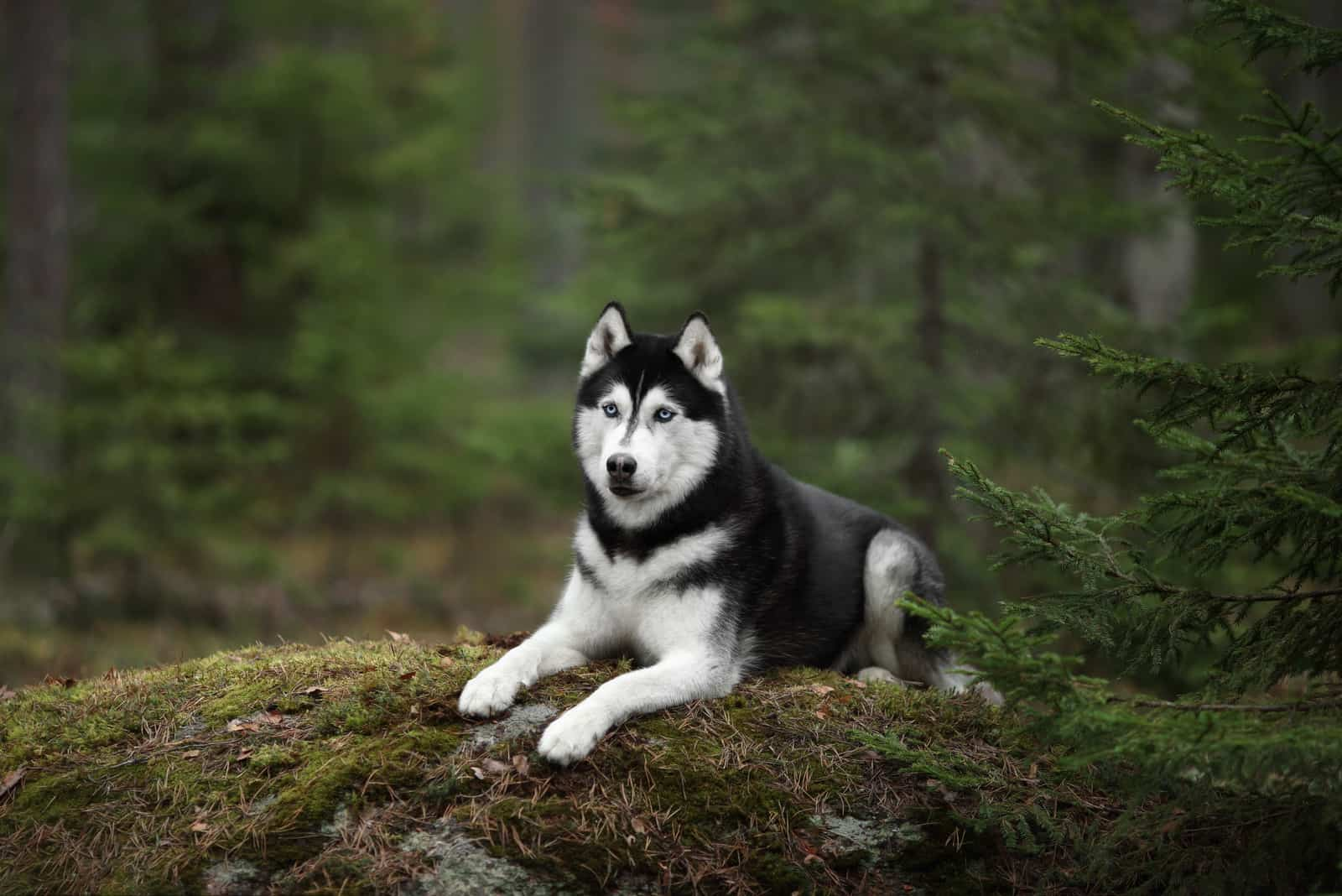 Beautiful Siberian Husky dog with blue eyes in the forest
