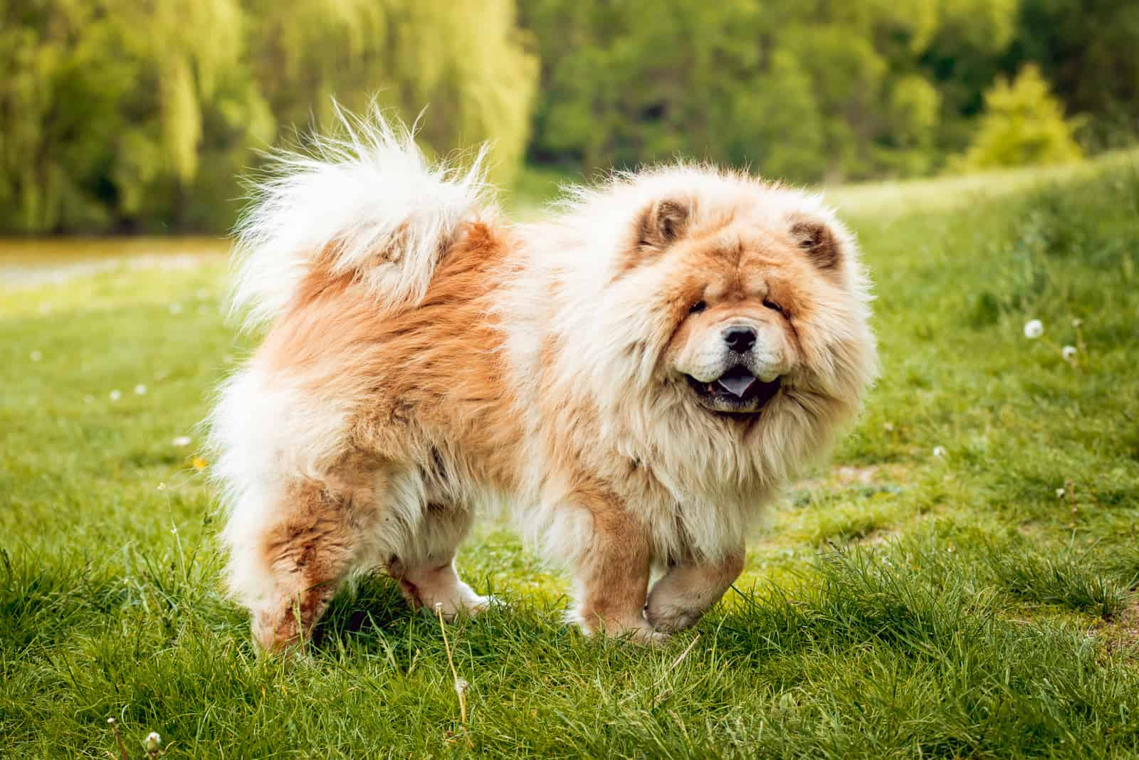 Beautiful dog chow-chow in the park