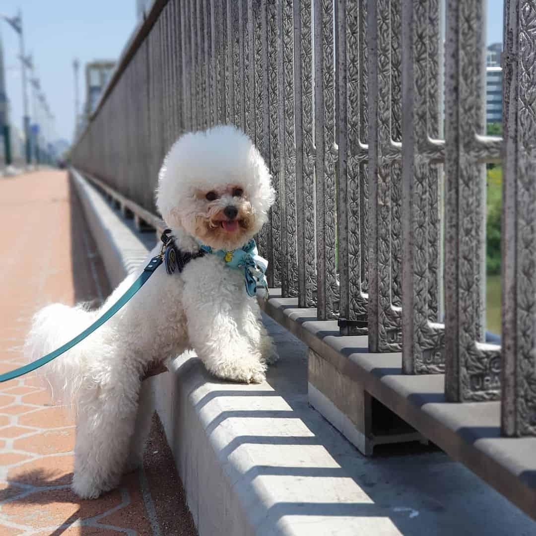 Bichon Frise dog outdoors